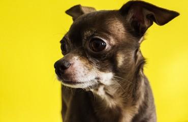 Chihuahua | Origini e come prendersene cura
