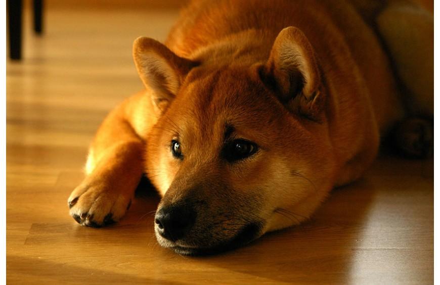 SHIBA INU |più un gatto che un cane.